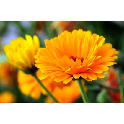 Nechtík lekársky - oranžová guľa - Calendula officinalis - semená nechtíku - semiačka - 65 ks