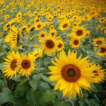 Slnečnica Topolino - Helianthus annuus - semená slnečnice - semiačka - 7 ks