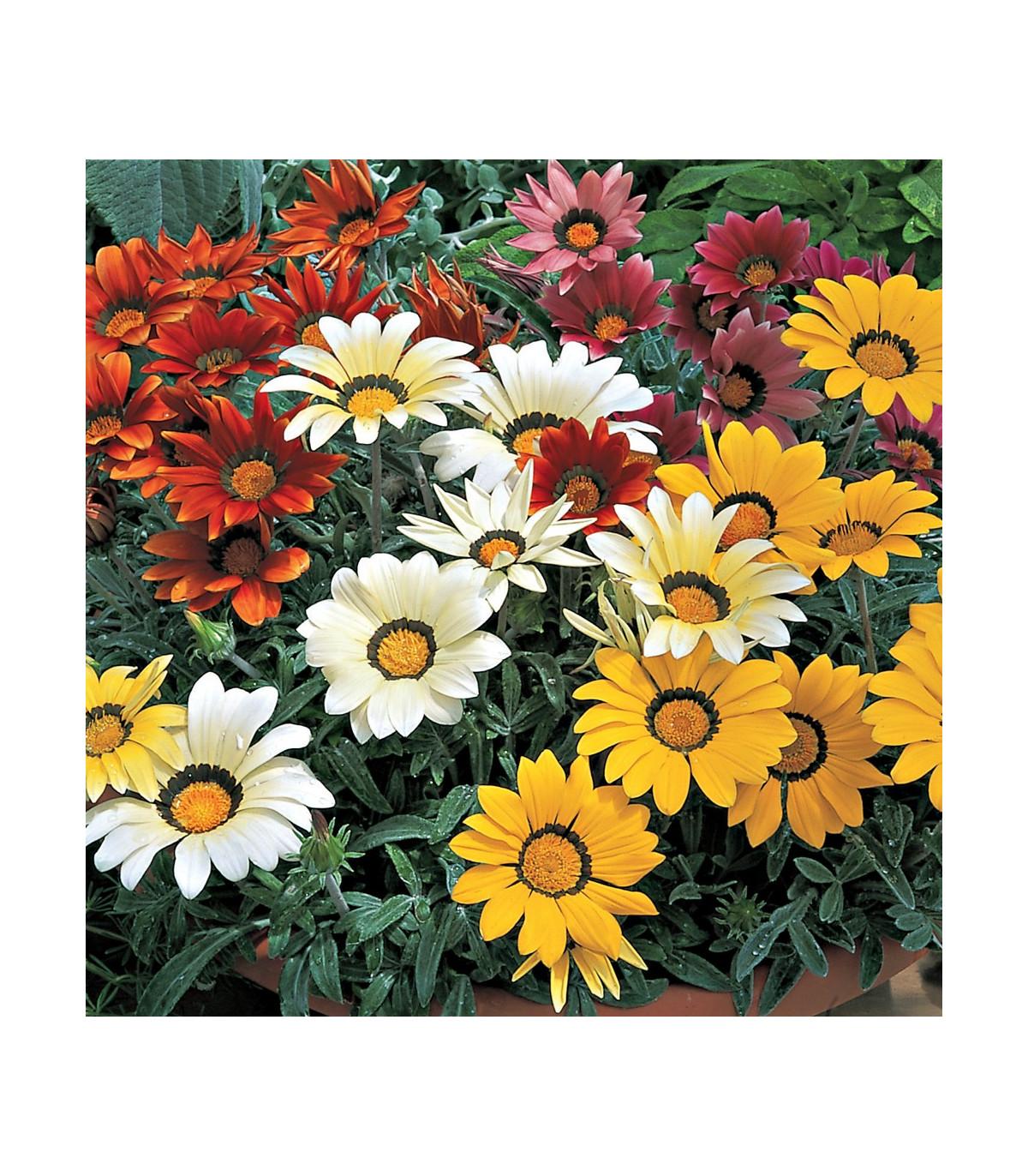 Gazánia lesklá - zmes farieb - Gazania splendes - semená letničiek - semená Gazánie - 0,15 gr