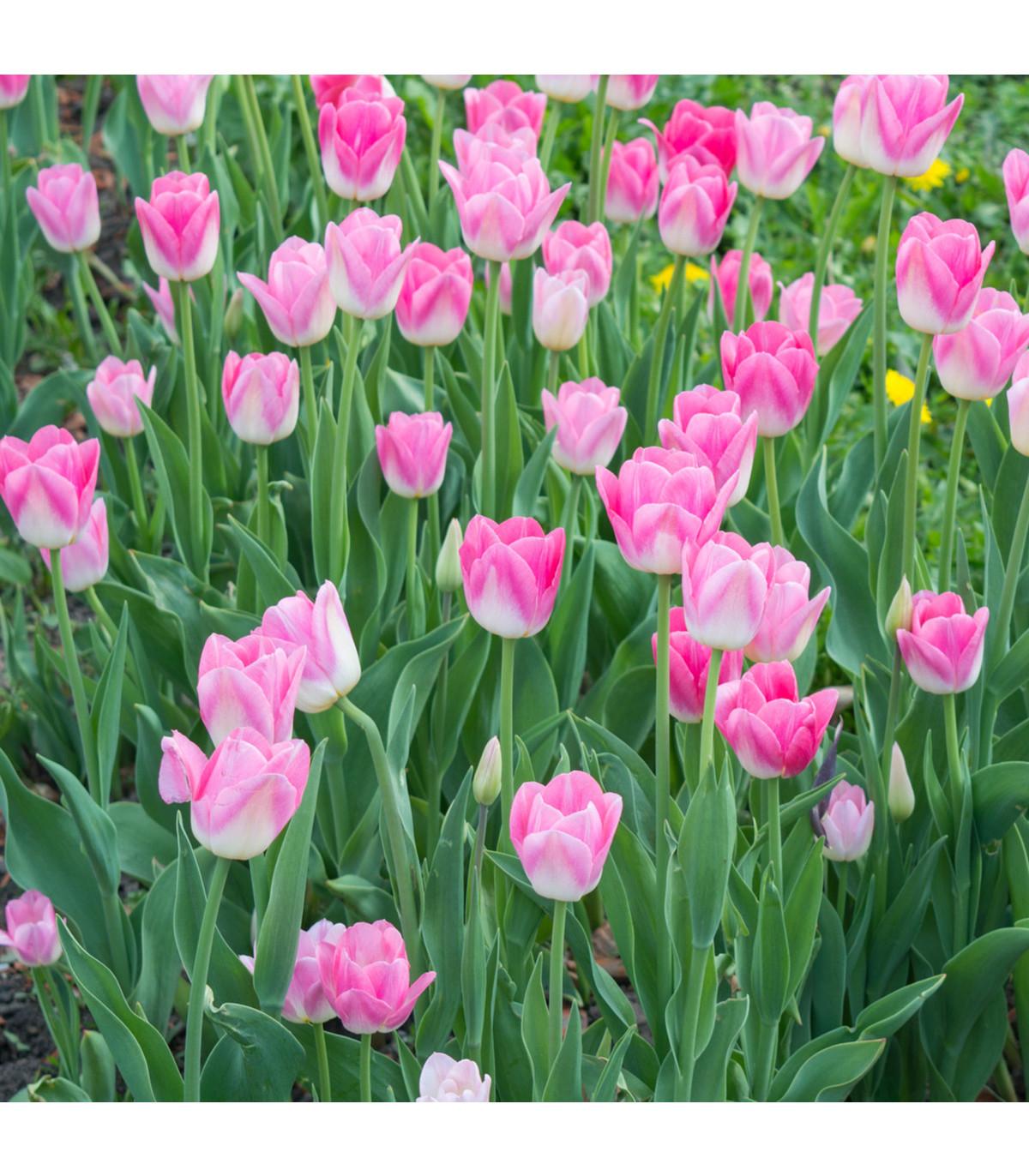 Tulipán Dynasty - predaj cibuľovín - holandské tulipány - 3 ks