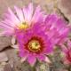 Kaktus Čipkovaný ježko - Echinocereus reichenbachii - semená - 8 ks