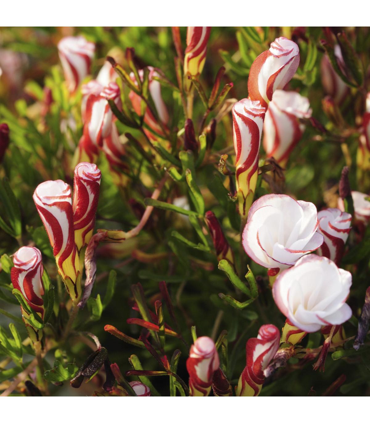 Šťaveľ dvojfarebný - Oxalis versicolor - predaj hľúz - 1 ks