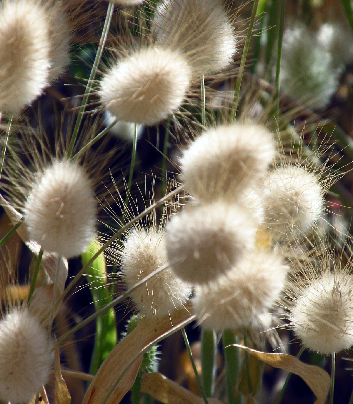 Zajačka vajcovitá - Lagurus ovatus - semená okrasnej trávy - 20 ks