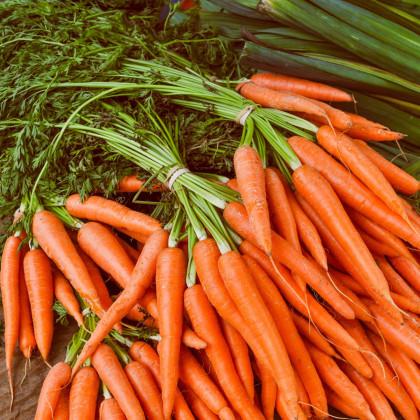Mrkva Rothild - Daucus carota - semená - 900 ks