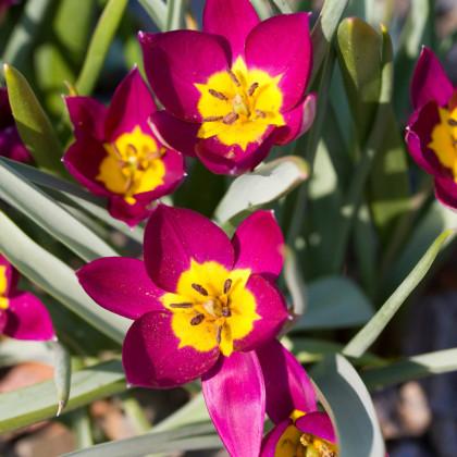 Tulipán nízky Eastern Star - cibuľky tulipánov - 3 ks