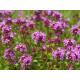Materina dúška- Thymus serpyllum- semená- 400 ks