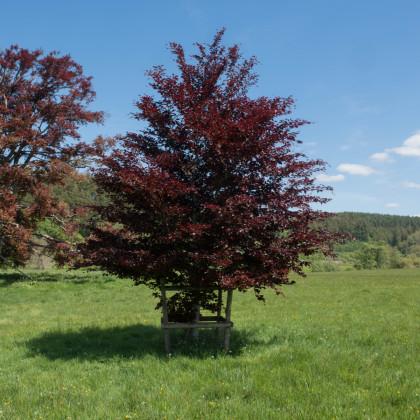 Buk lesný Atropurpurea - Fagus sylvatica atropurpurea - semená - 7 ks
