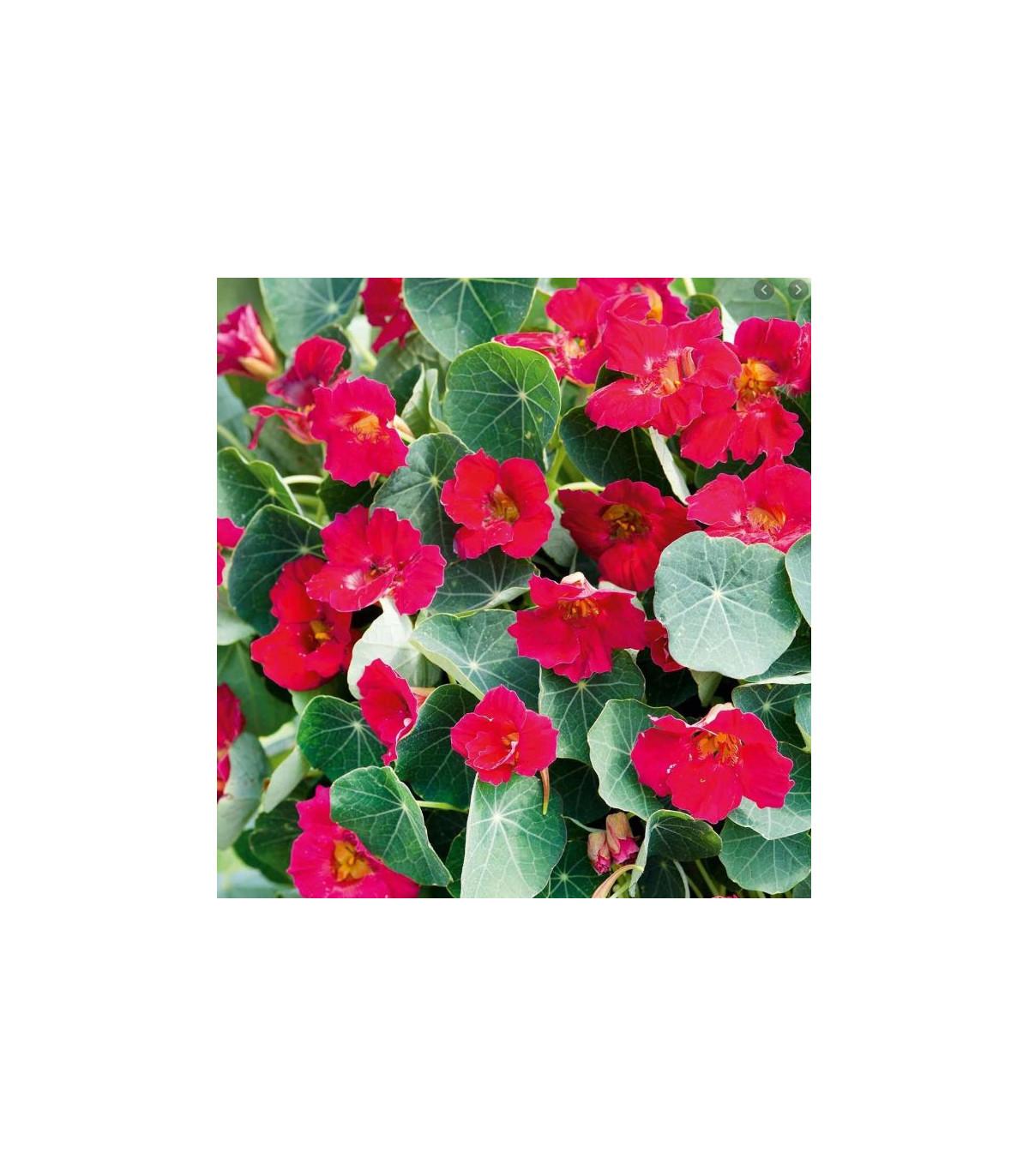 Kapucínka ružová Baby Deep Rose - Tropaeolum minus- semiačká Kapucínky- 1 g