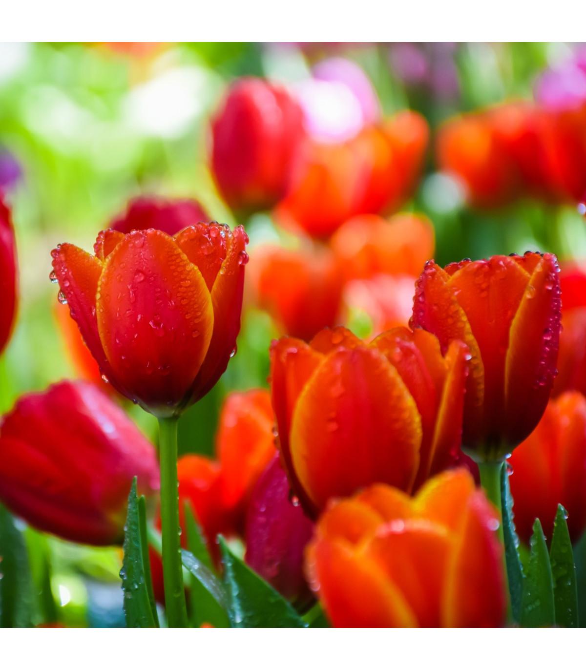 Tulipán červený Apeldoorn - Tulipa Apeldoorn - cibuľoviny - 3 ks