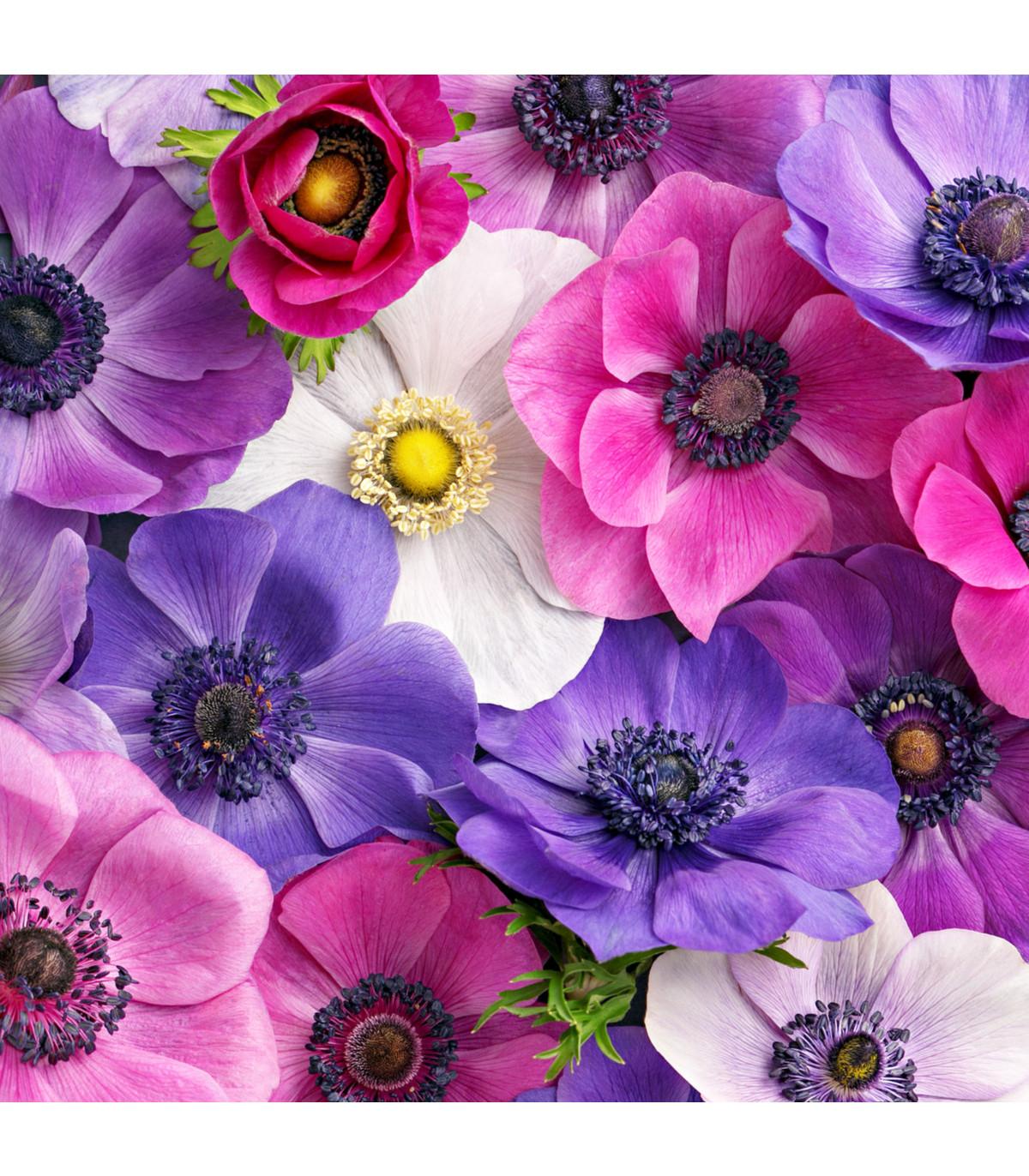 Sasanka plnokvetá - zmes farieb - Anemone - cibuľoviny - 3 ks