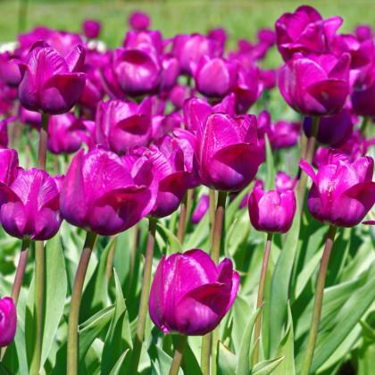Tulipán Negrita double - predaj cibuľovín - holandské tulipány - 3 ks