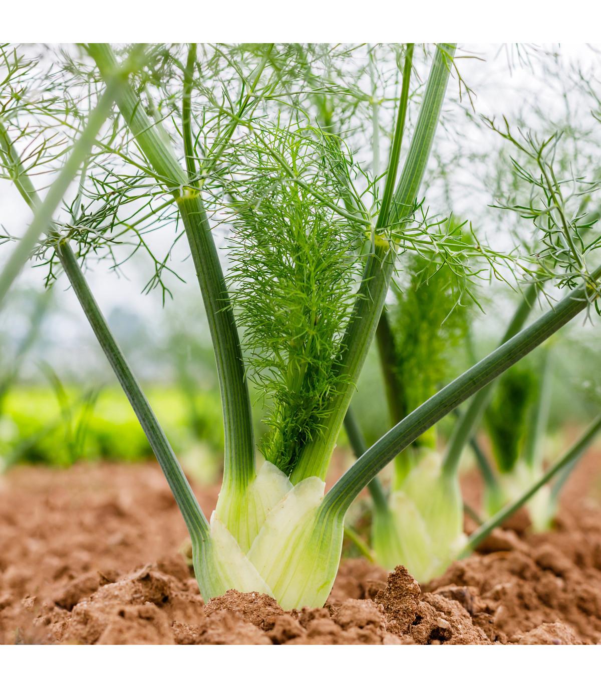 BIO fenikel buľvový Fino - Foeniculum vulgare - bio semená fenikla - 50 ks