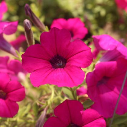 Petúnia Purple Velvet F1 - Petunia hybrida - surfínia - semená - 12 ks