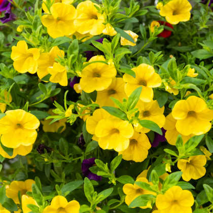 Minipetúnia Kabloom  Yellow F1 - Million Bells - Calibrachoa hybrida - semená - 7 ks