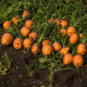 Mrkva Pariser Markt - guľatá na rýchlenie - Daucus carota - semená - 900 ks