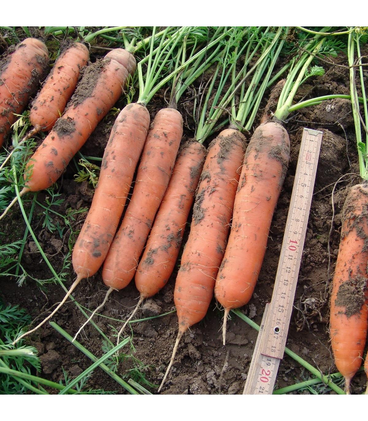 Mrkva skorá Marion F1 - Daucus carota - semená - 900 ks